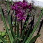 giacinto lilla