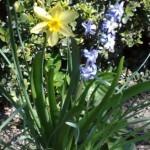 giacinto lilla e iris giallo di campo