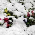 primule tra la neve