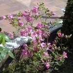 azalea in fiore - aprile 2009