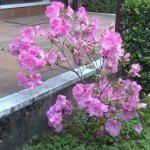 azalea in fiore - aprile 2010