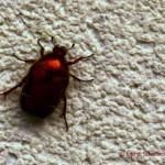 scarabeo sui muri di Erto (Pn).