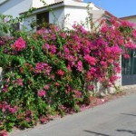 Pellaro(Rc): fiori in collina sopra il paese