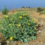 Pellaro(Rc): pianta fiorita in collina