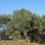 Pellaro(Rc): un ulivo sulle colline