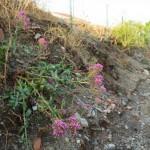 Pellaro(Rc) pianta fiorita sul sentiero in collina